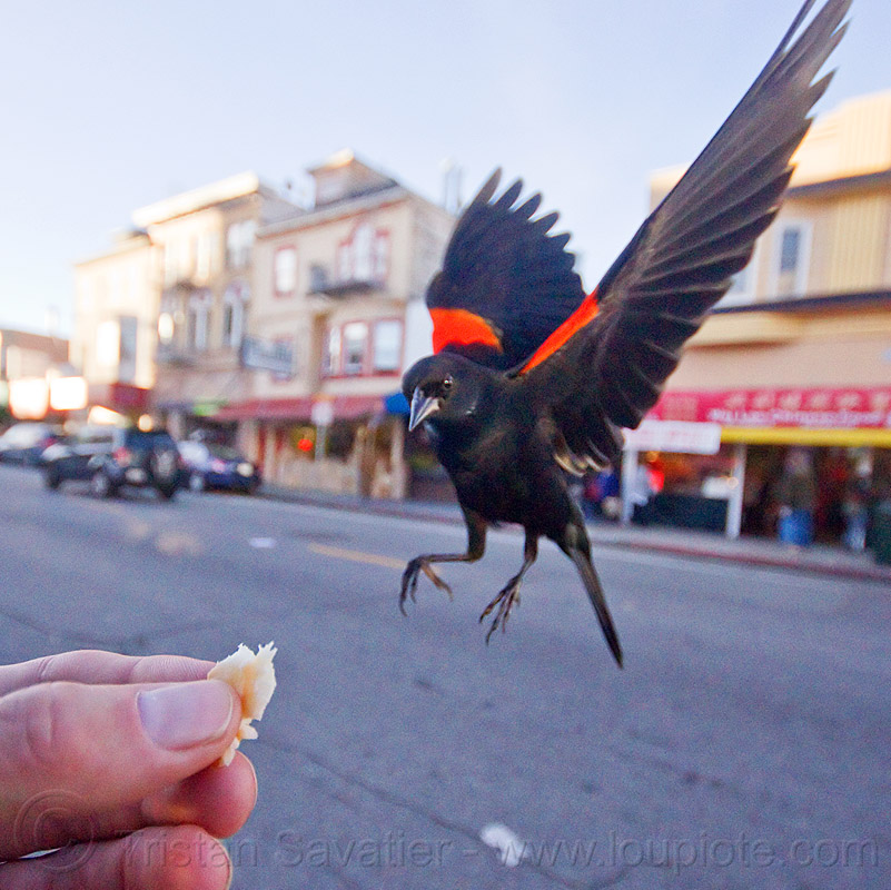 agelaius phoeniceus gubernator - flying bird eating in my hand, bicolored blackbird, black bird, bread crumb, feeding, red-winged, red-winged blackbird, street, urban wildlife, wild bird, wings
