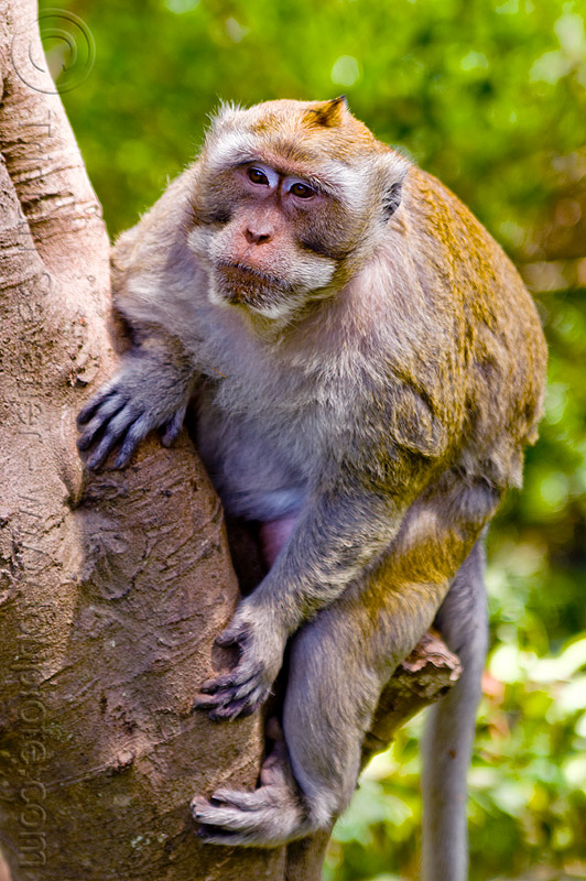 alpha male macaque monkey, crab-eating macaque, dominant male, fascicularis, java, macaca, macaca fascicularis, wild, wildlife