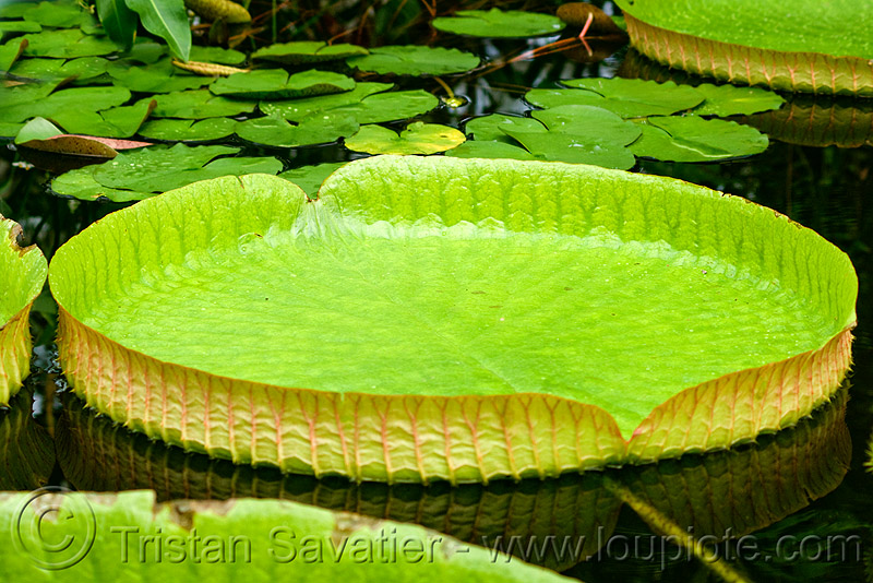 amazon giant water lily leaf - victoria amazonica, amazon water lily, conservatory of flowers, floating, giant water lily, green, leaves, plant, tropical, victoria amazonica