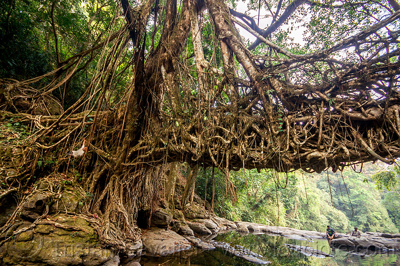 anchor of living root bridge - mawlynnong (india), banyan, east khasi hills, ficus elastica, footbridge, india, jingmaham, jungle, living root bridge, mawlynnong, meghalaya, rain forest, river, roots, strangler fig, trees, wahthyllong