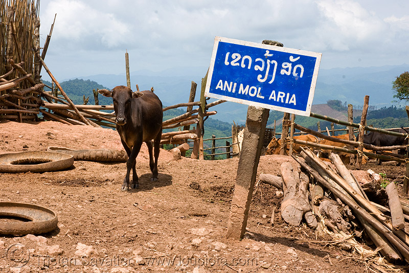 """ani mol aria"" (animal area!) - laos, ani mol aria, animal area, bad, cow, sign, translation"