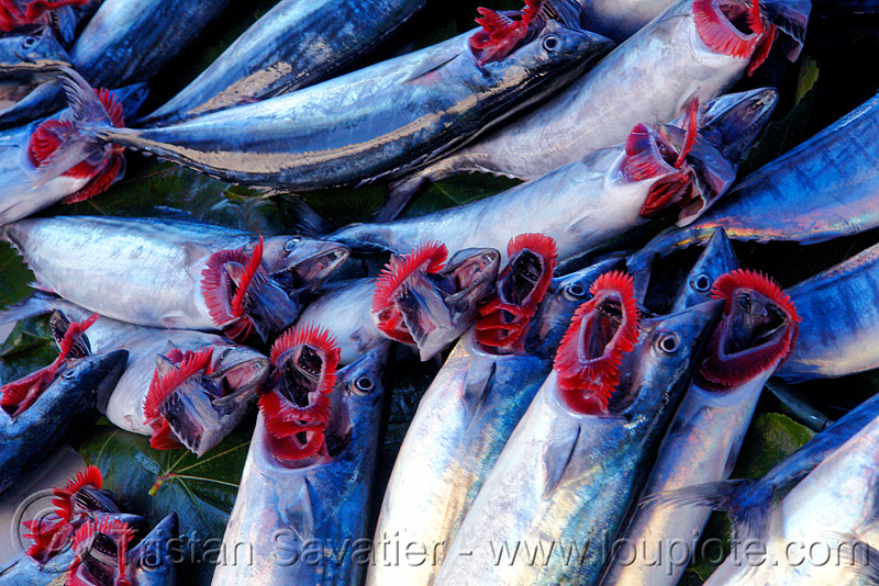 atlantic bonito fishes - fish market, atlantic bonito, branchial arches, fish market, fishes, gills, istanbul, sarda sarda
