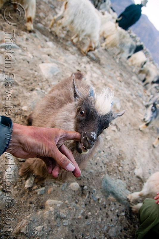 baby goat sucking my finger - pangong lake - ladakh (india), baby goat, changthangi, finger, goat head, ladakh, pashmina, spangmik, suckling