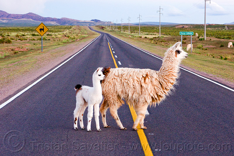 baby llama crossing road, altiplano, argentina, baby llama, cria, fluffy, fuzzy, llama crossing, lumará, mother, noroeste argentino, pampa, quebrada de humahuaca, road sign, straight road, vanishing point