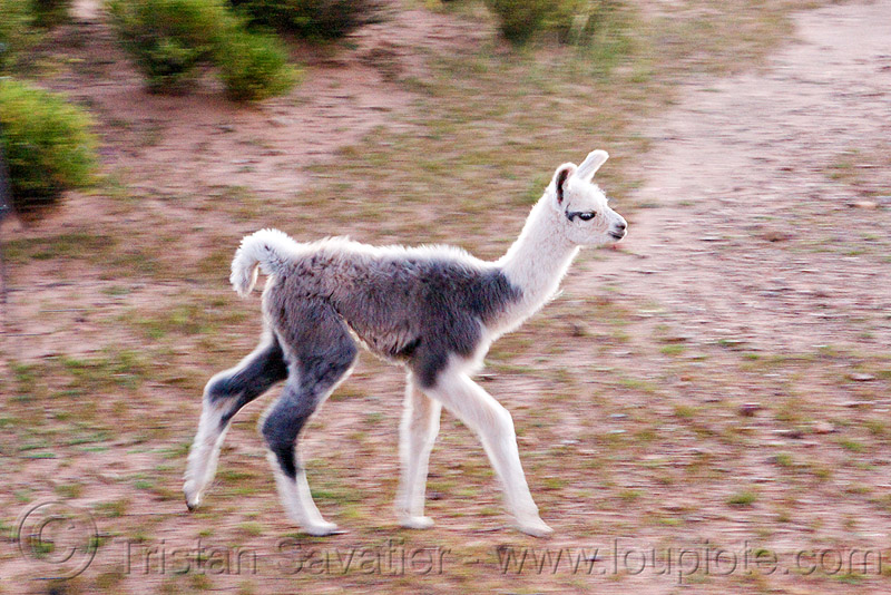 baby llama - they are called cria, altiplano, argentina, baby llama, cria, fluffy, fuzzy, grey, lumará, noroeste argentino, pampa, quebrada de humahuaca, walking