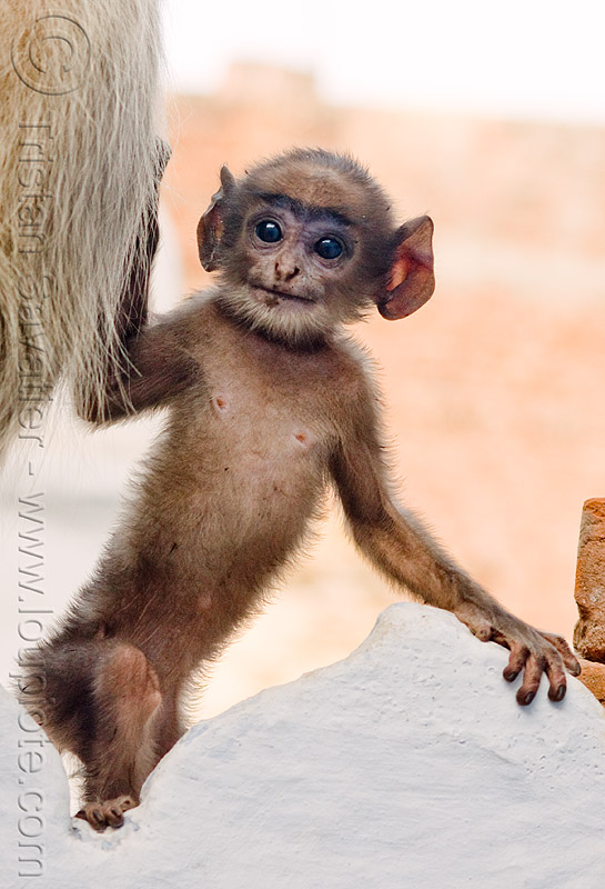 baby monkey with big ears - langur black-faced monkey, baby monkey, black-face monkey, ears, gray langur, semnopithecus entellus, udaipur, wildlife