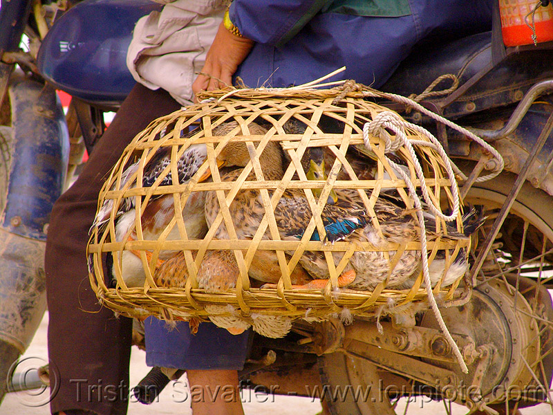 bamboo cage - geese - vietnam, 125cc, bamboo cage, birds, geese, minsk motorcycle, poultry, road, vietnam, минск 125, мотоциклы