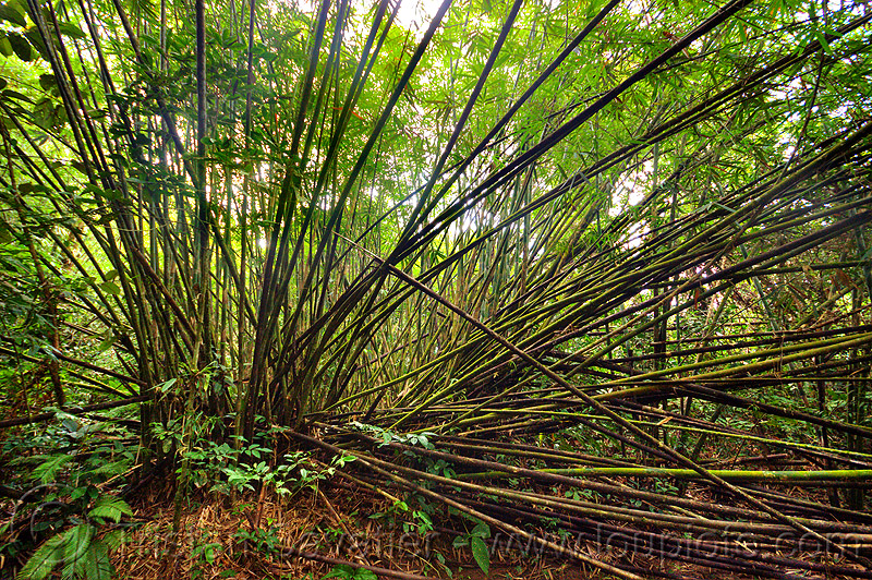 bamboo forest, backlight, gunung mulu, gunung mulu national park, plants, rain forest