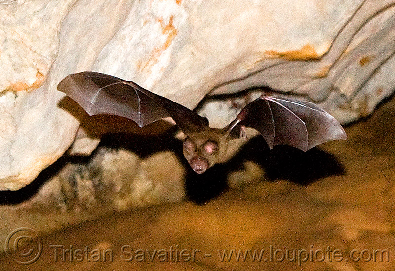 bat in flight, bat, caving, flying, laos, natural cave, spelunking, wildlife