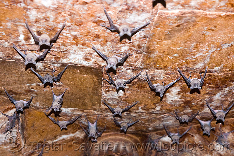 bats hanging from ceiling, bat colony, bats, ceiling, hanging, india, mandav, mandu, up-side-down, wildlife