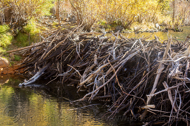 beaver dam in lundy canyon (california), beaver dam, california, eastern sierra, lake, lundy canyon, river, tree branches, tree limbs, valley