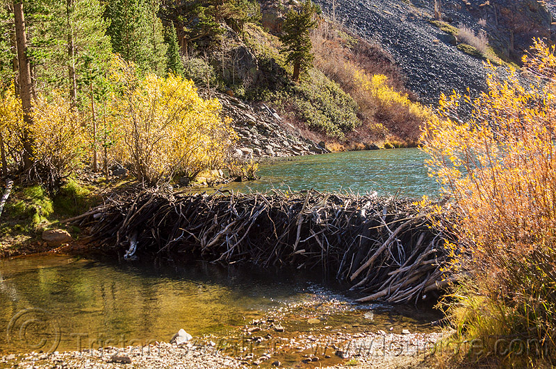 beaver dam, beaver dam, california, eastern sierra, lake, lundy canyon, river, tree branches, tree limbs, valley, water
