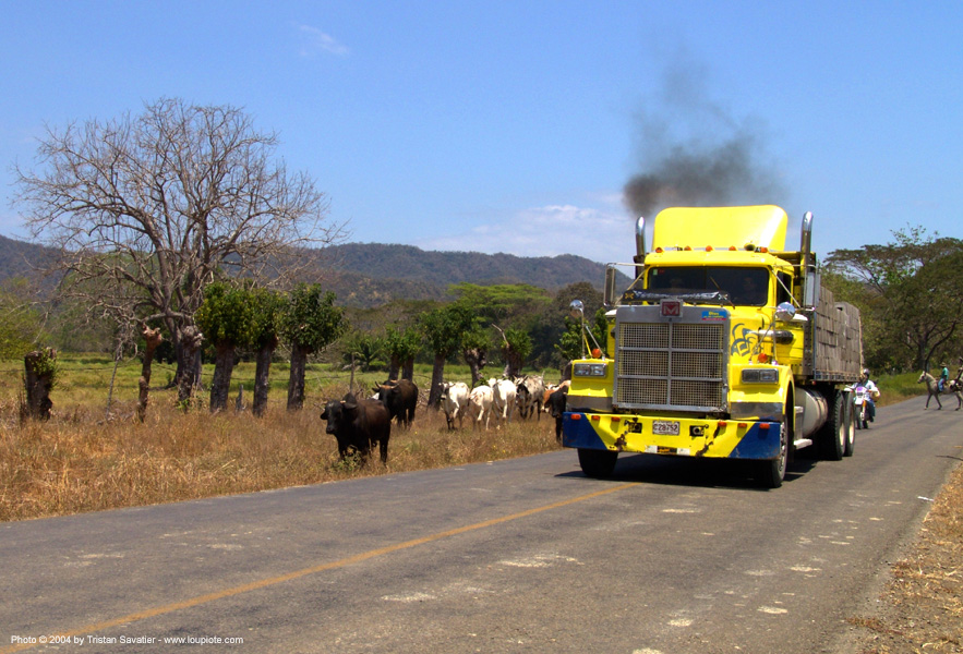 big yellow truck (costa rica), artic, articulated lorry, big truck, costa rica, cows, road, semi truck, semi-trailer, tractor trailer
