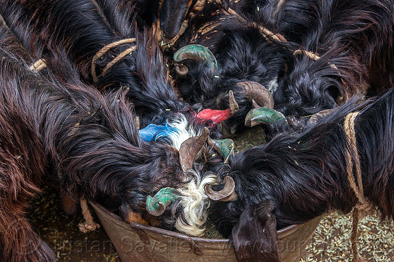 black goats with painted horns eating from bucket (india), black, delhi, eating, goats, horns