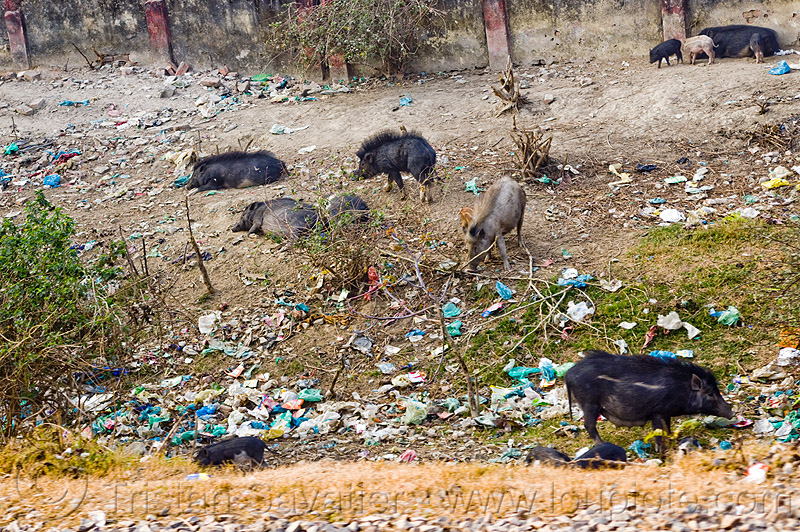 black pigs - plastic trash (india), dump, environment, foraging, garbage, pigs, plastic trash, pollution, rubbish