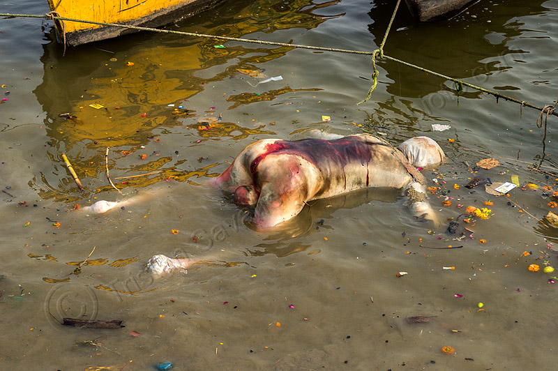 bloated decomposed cadaver floating on the ganges river (india), bloated, blood, bloody, cadaver, corpse, dead, death, decomposed body, decomposing, floating, ganga river, ganges river, grisly, gruesome, hindu, hinduism, human remains, macabre, man, morbid, putrefied, varanasi, water