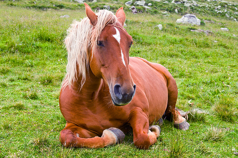 blonde horse lying down, blond horse, blonde horse mane, feral horse, grass field, grassland, lying down, red horse, resting, wild horse