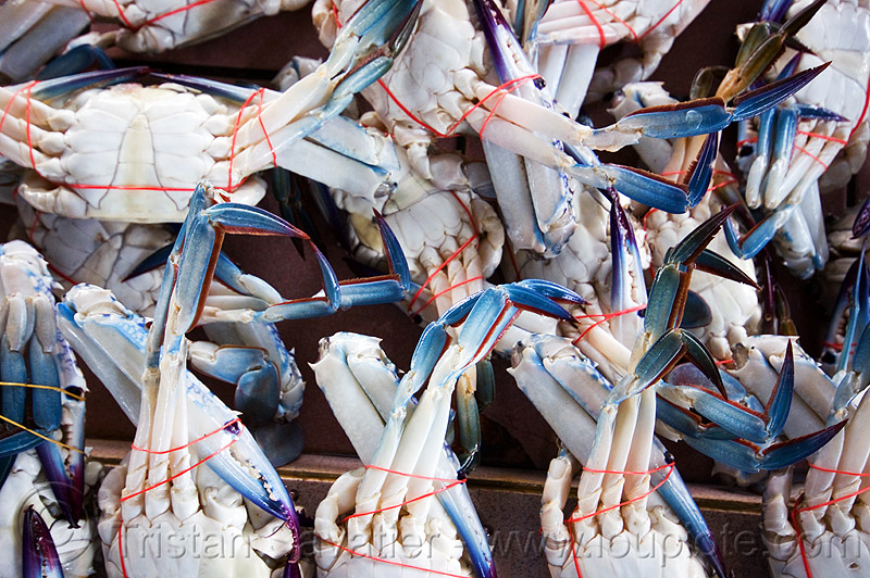 blue crabs at fish market - lahad datu (borneo), blue crabs, blue manna crabs, blue swimmer crabs, borneo, fish market, flower crabs, food, malaysia, portunidae, portunus pelagicus, red ties, sand crabs, seafood