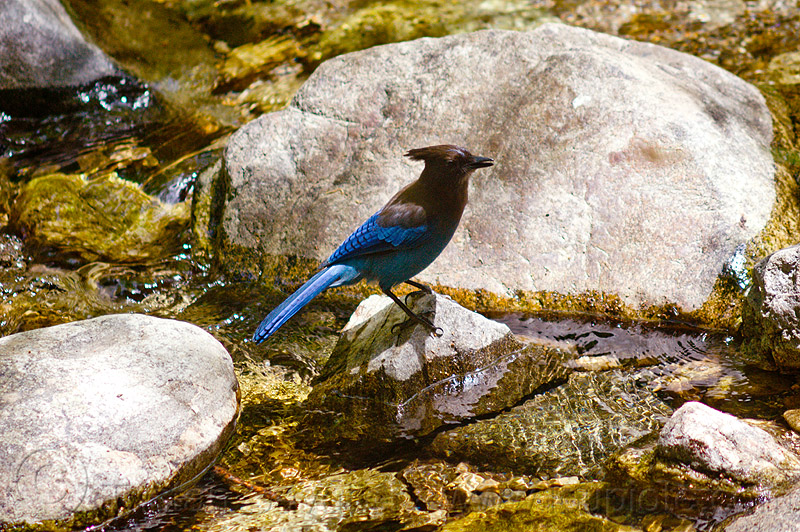 blue jay, big sur river, blue jay, cyanocitta cristata bromia, pine ridge trail, rocks, stream, trekking, vantana wilderness, water, wild bird, wildlife