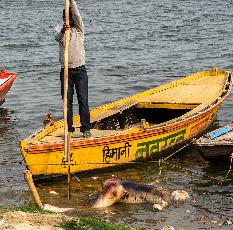 boatman moving decomposed cadaver floating on the ganges river (india), bloated, blood, cadaver, corpse, dead, death, decomposed body, decomposing, floating, ganga, ganges river, hindu, hinduism, human remains, india, man, paddle, putrefied, river boat, standing, varanasi, yellow