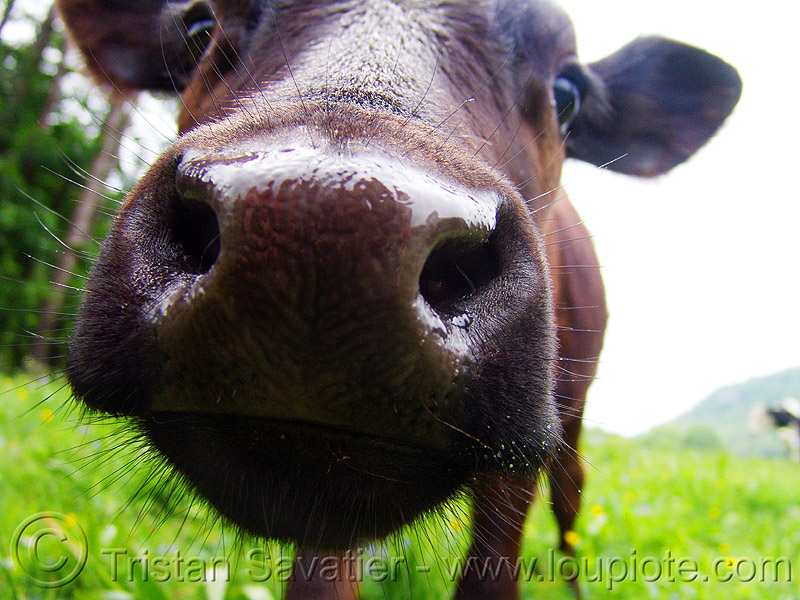 cow nose, brown cow, close-up, cow nose, cow snout, head, nostrils, wet, българия