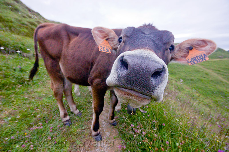 brown cow snout, 2050, black nose, black snout, cow nose, cow snout, ear tags, gorizia, grass field, grassland, nostrils