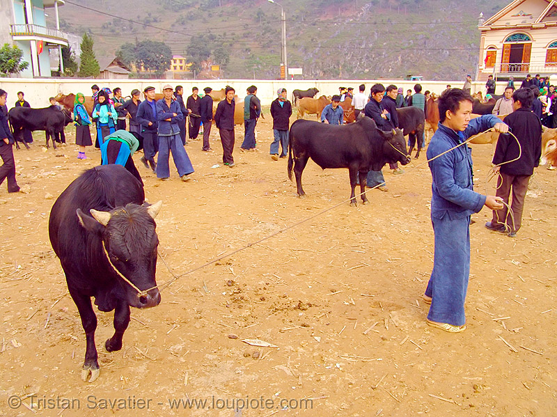bull market - vietnam, cattle market, cow, hill tribes, indigenous, mèo vạc, people, rope