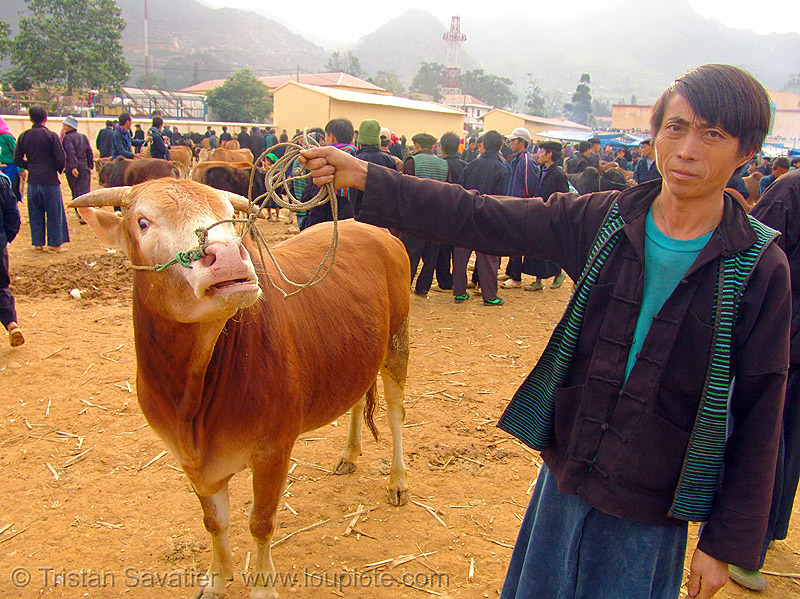 bull market - vietnam, cattle market, cow, cow nose, cow snout, hill tribes, indigenous, mèo vạc, people, rope
