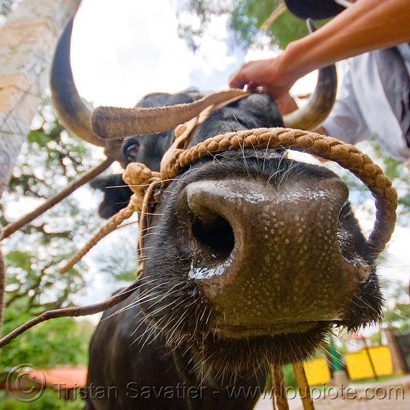 bull nose, arm, cow, cow nose, cow snout, hand, head, horns, noroeste argentino, rope, salta, san lorenzo