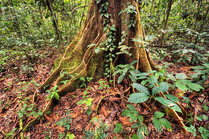 buttress roots, climbing plants, creeper, creeper plants, gunung mulu, gunung mulu national park, jungle, rain forest, tree, tree roots, tree trunk