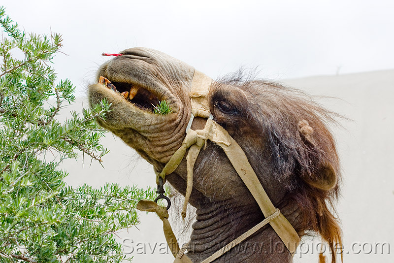 camel eating bush - nubra valley - ladakh (india), camel herd, double hump camel, harness, hundar, ladakh, nubra valley