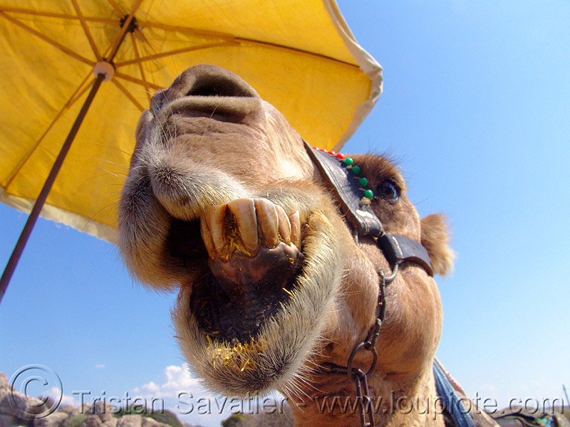 camel head - regurgitating and rechewing partially digested cud, camel, chewing, head, mouth, regurgitate, regurgitating, teeth, working animal, yellow umbrella