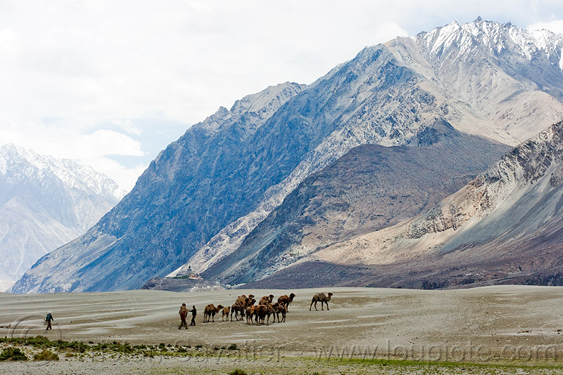 camel herd - nubra valley - ladakh (india), camel herd, desert, double hump camels, hundar, ladakh, mountains, nubra valley