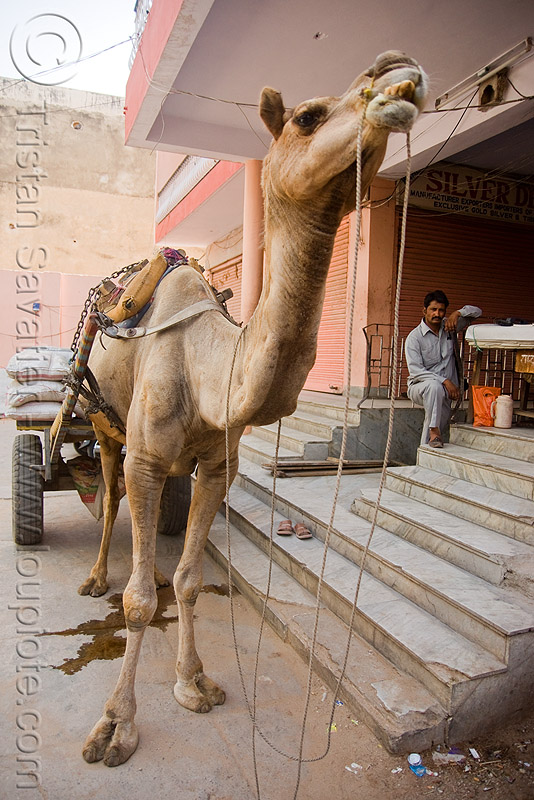 camel - jaipur (india), camel, jaipur, street, working animal