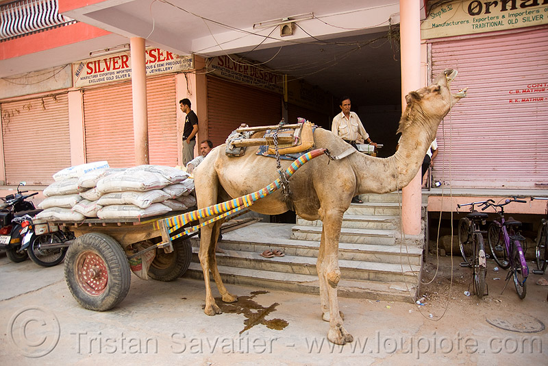 camel - jaipur (india), street, working animal