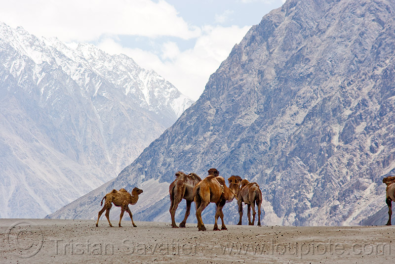 camels in nubra valley - ladakh (india), camel herd, double hump camels, hundar, india, ladakh, mountains, nubra valley