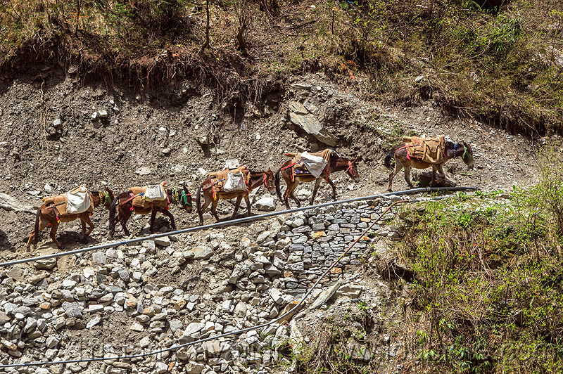 caravan of pack mules on mountain trail (india), caravan, mountains, mules, pack animals, pack horses, treking, working animals, yamunotri trail, yamunotri trek