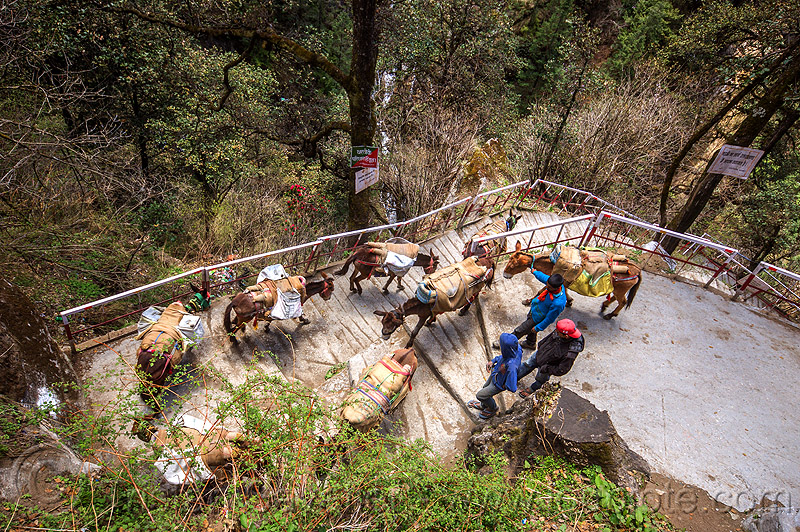 caravan of pack mules on the steps of the yamunotri trail (india), horses, men, pack animals, pack horses, people, treking, working animals, yamunotri trek