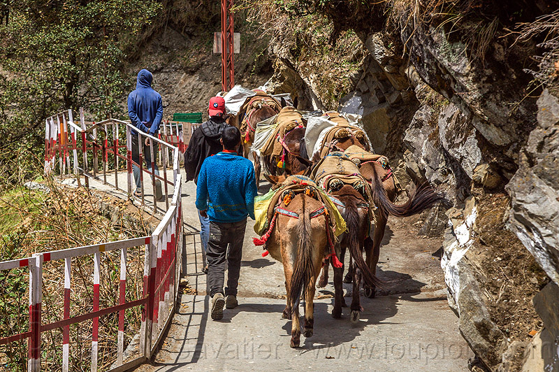 caravan of pack mules on the yamunotri trail (india), caravan, india, men, mules, pack animals, pack horses, treking, working animals, yamunotri trail, yamunotri trek