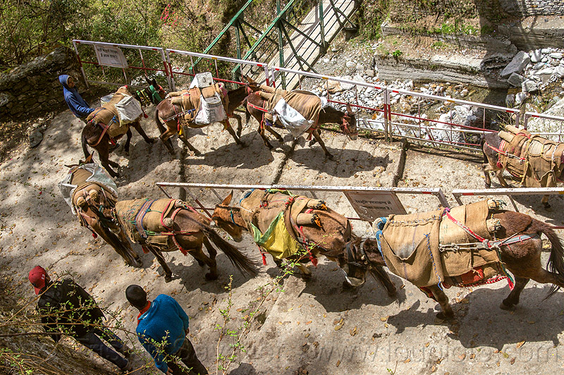 caravan of pack mules walking down the steps of the yamunotri trail (india), caravan, men, mules, pack animals, pack horses, treking, working animals, yamunotri trail, yamunotri trek