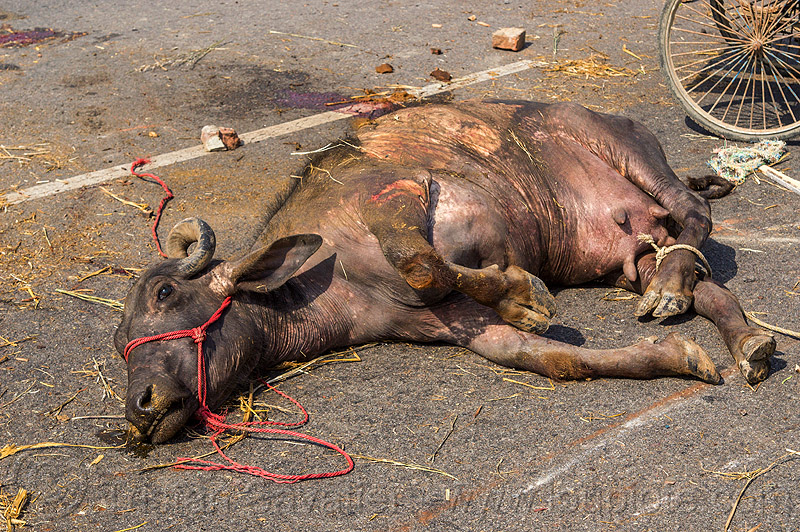 carcass of water buffalo killed in truck accident (india), carcass, cow, crash, dead, injured, lying, road, rope, traffic accident, truck accident, water buffalo