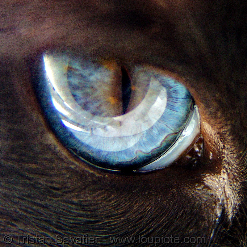 cat eye - blue - siamese, blue eyes, cat eye, close-up, dark, himalayan, iris, macro, persian, reflection, right eye, siamese