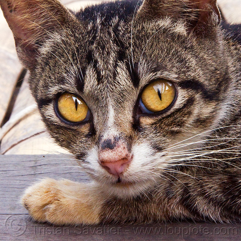 cat with big yellow eyes, annah rais, head, kitten, tabby, whiskers