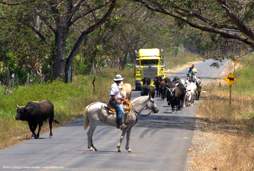 cattle on road - truck, artic, articulated lorry, big rig, cattle on road, costa rica, cowboy, horse, horseback riding, semi truck, semi-trailer, tractor trailer