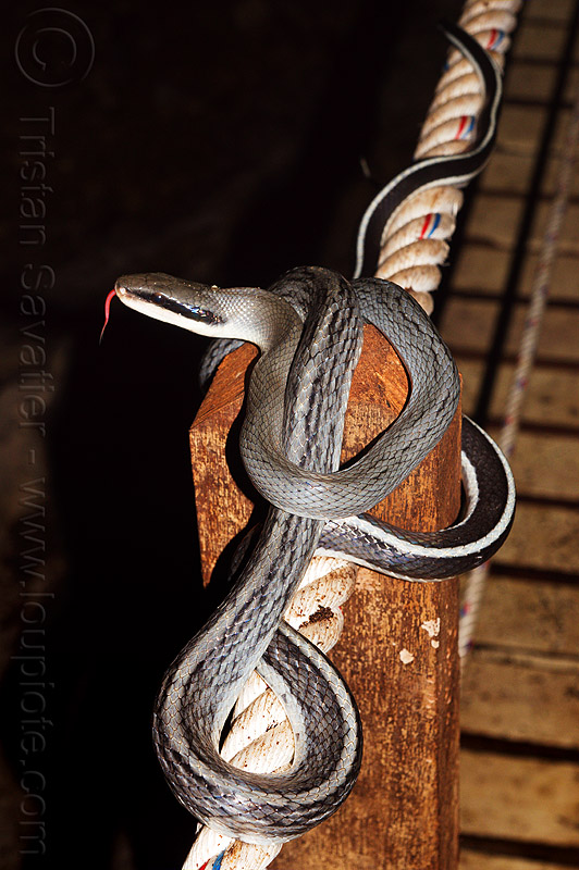 cave racer snake, beauty rat snake, cave-dwelling, caving, coiled, elaphe taeniura ridleyi, gunung mulu national park, hand rail, lang cave, natural cave, orthriophis taeniurus, racer snake, reptile, rope, spelunking, tongue, wildlife