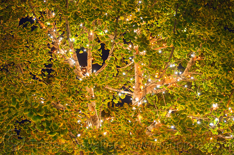 christmas lights in ginkgo tree, christmas decorations, christmas lights, gingko biloba, ginkgo biloba, glowing, leaves, night, tree