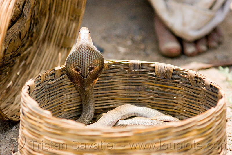 cobra snake in basket (india), endangered species, indian cobra, naja naja, protected species, rattan, reptile, snake charmer, snake charming