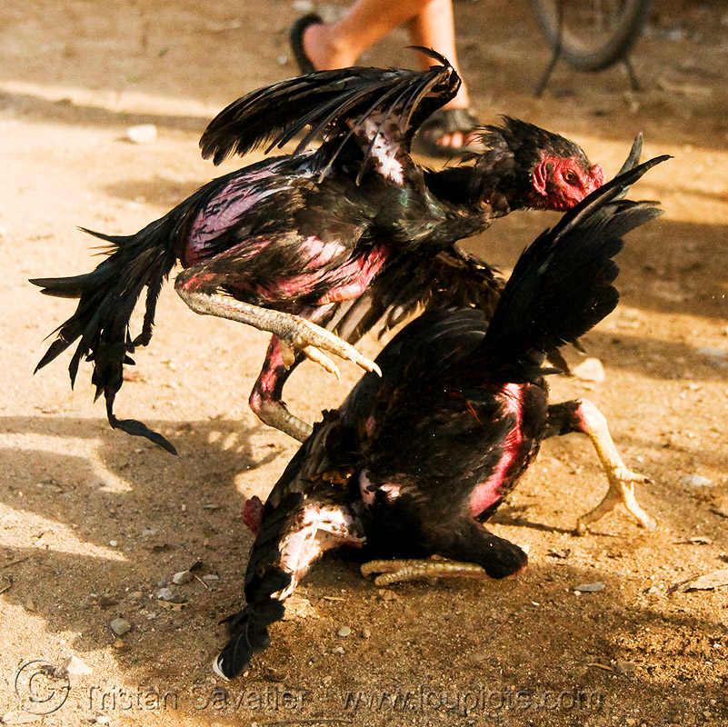 cockfight - luang prabang (laos), birds, cock fight, cockbirds, cockfighting, fighting roosters, gamecocks, luang prabang, poultry