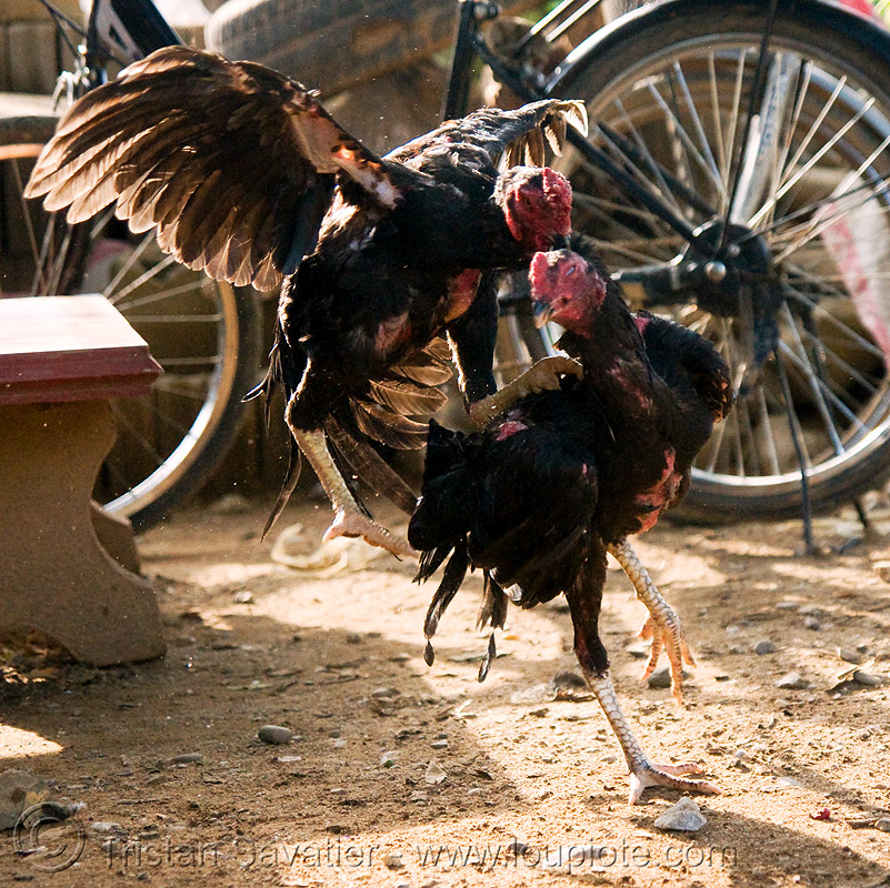 cockfighting, birds, cock fight, cockbirds, cockfighting, fighting roosters, gamecocks, luang prabang, poultry