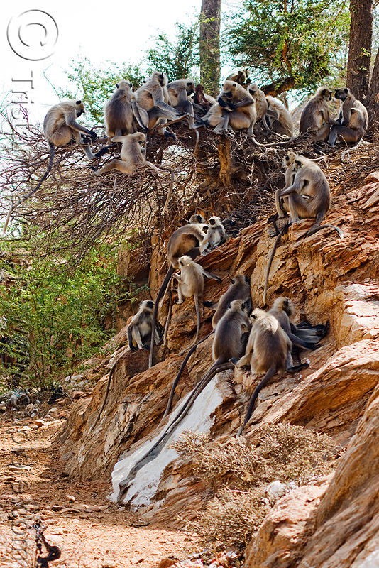 colony of langur monkeys (india), black-faced monkeys, colony, gray langur, semnopithecus entellus, sitting, wildlife